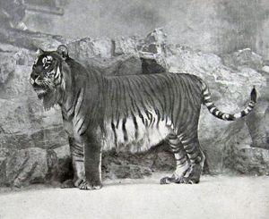 tigre desaparecido
